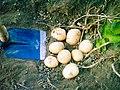 Trevico potatoes harvest.jpeg