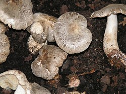 http://upload.wikimedia.org/wikipedia/commons/thumb/a/aa/Tricholoma_pardinum_01.jpg/250px-Tricholoma_pardinum_01.jpg