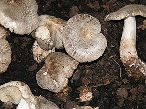 Description de l'image  Tricholoma pardinum 01.jpg.
