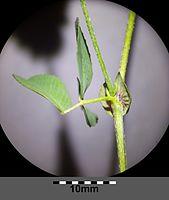 Trifolium campestre sl8.jpg