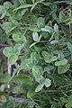 Trifolium pratense 118380019.jpg