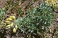 Tropaeolum polyphyllum.jpg