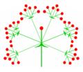 Trugdolde (inflorescence).PNG