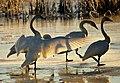 Trumpeter Swans at Sunrise on Seedskadee NWR (23126691553).jpg