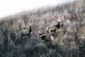 Tule Elk Basking Ridge Park, Santa Clara County Edgerton 2009-12-24.png