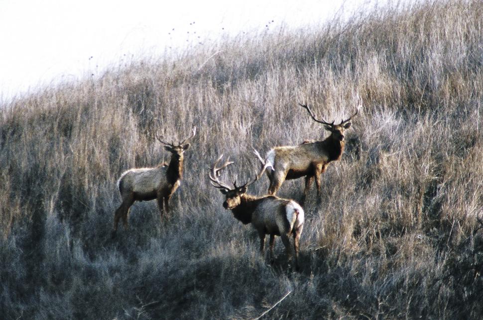 Tule Elk Basking Ridge Park, Santa Clara County Edgerton 2009-12-24