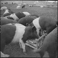 Tule Lake Relocation Center, Newell, California. A view of hogs on the temporary hog farm at this r . . . - NARA - 536365.tif