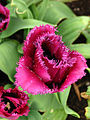 Tulipa (fringed, purple) 02.JPG