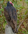 Turkey Vulture (Cathartes aura) (29075585476).jpg