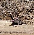 Turkey Vultures (Cathartes aura) couple (31839060035).jpg