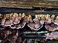 Turkeytail fungus (Trametes versicolor) - geograph.org.uk - 1036163.jpg