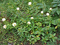 Turnera ulmifolia 'Elegans' in Hyderabad, AP W IMG 0220.jpg