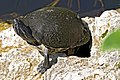 Turtle Red Belly 21 NPSPhoto, R. Cammauf (2) (9257774404).jpg