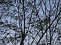 Tuvara (Malayalam- തുവര) (11984856816).jpg
