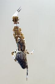 Uloborus walckenaerius.jpg