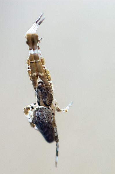 File:Uloborus walckenaerius.jpg