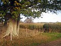 Unharvested Corn Field - geograph.org.uk - 1554255.jpg