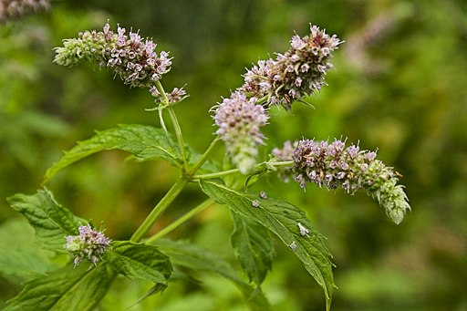 Unidentified mentha, Maramures