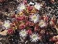 Unk desert flower 2.jpg
