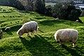 Urban sheep (3) (8955095462).jpg