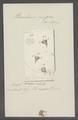 Urceolaris nigra - - Print - Iconographia Zoologica - Special Collections University of Amsterdam - UBAINV0274 113 21 0021.tif
