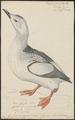 Uria grylle - 1743-1817 - Print - Iconographia Zoologica - Special Collections University of Amsterdam - UBA01 IZ17800289.tif