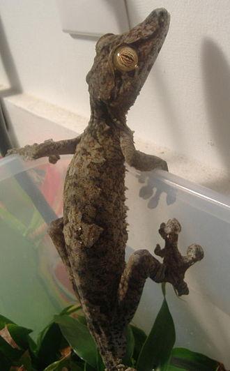 Common flat-tail gecko - Image: Uroplatus Fimbriatus