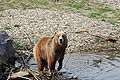 Ursus arctos middendorffi 079.jpg