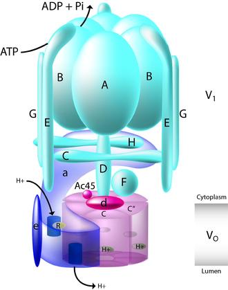 V-ATPase - V-ATPase schematic