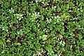 Vaccinium vitis-idaea 2.jpg