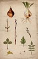Various leaf forms, leaf arrangements and bulbs. Watercolour Wellcome V0043497.jpg