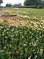 Verblühende Tulpen (5).jpg