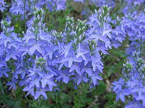 Description de l'image  Image:Veronica austriaca.jpg .