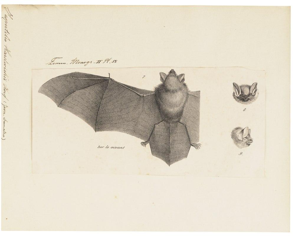 The average litter size of a Hardwicke's woolly bat is 1