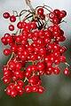 Viburnum Betulifolium Fruits 2.jpg