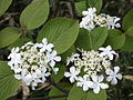 Viburnum furcatum Mushikari in Hakusan 2010-6-11.jpg