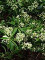 Viburnum henryi - Flickr - peganum.jpg