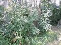 Viburnum lantana (5062193233).jpg