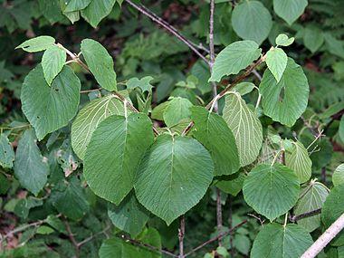 Viburnum lantanoides SCA-8142.jpg