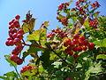 Viburnum opulus 2007 G1.jpg