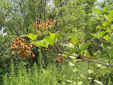 Viburnum opulus SCA-02407.jpg