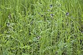 Vicia sepium (Vesce des haies) - 2.jpg