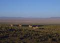 Vicunas Uyuni Bolivia.jpg