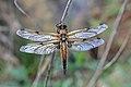 Vierfleck Libellula quadrimaculata 5214.jpg