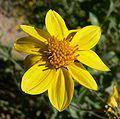 Vigueria deltoidea flower 1.jpg