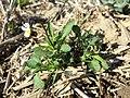 Viola arvensis subsp. arvensis sl5.jpg