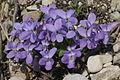 Viola hirta (Wiesen-Veilchen) IMG 7308.JPG