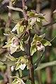 Violet Helleborine (Epipactis purpurata) - geograph.org.uk - 899387.jpg