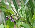 Virginia Bluebell Mertensia virginica Unopened 2368px.jpg