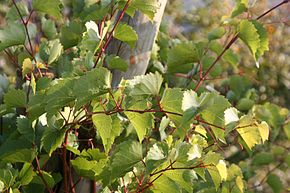 Description de l'image Vitis rupestris Weinsberg 20071016.jpg.